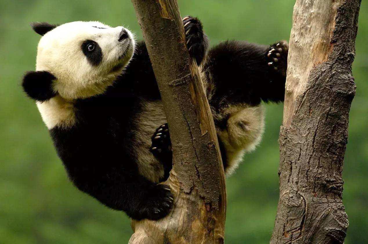大熊猫国家公园成都管理分局揭牌 7个管理分局同步挂牌成立
