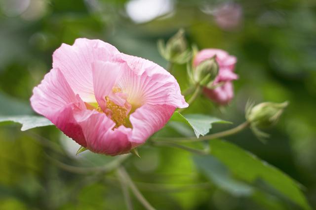 天府芙蓉花节期间 超大芙蓉网红打卡墙惊现成都植物园