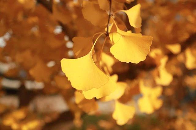 眉山银杏美得像一幅画 错过再等一年!